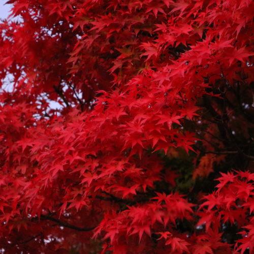 真っ赤に紅葉しています