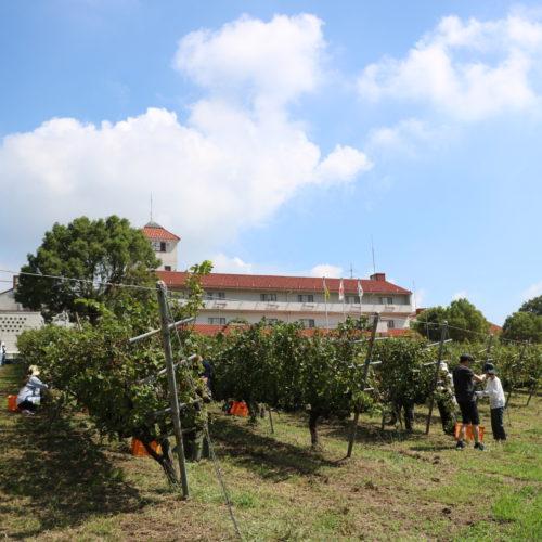白鶴酒造株式会社×神戸ワイナリー 神戸市特産品 ワイン用ブドウ 生産振興にむけて連携開始