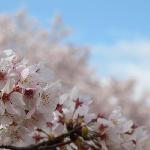 ~桜だより~ のんびりできる桜スポットのご紹介